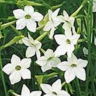Nicotiana Affinis Seeds