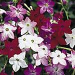 Nicotiana F1 Perfume Mix Seeds
