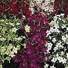 Nicotiana F1 Super Hybrid Mix Seeds
