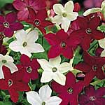 Nicotiana Evening Fragrance Mix Seeds