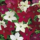 Nicotiana Evening Fragrance Mix Seeds