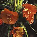Oenothera Sunset Boulevard Seeds