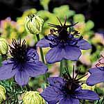 Nigella damascena Midnight Blue Seeds