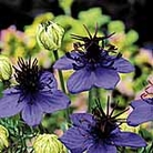 Nigella damascena Midnight Blue Seeds