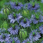 Nigella damascena Seeds - Miss Jekyll