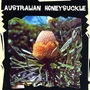 World Garden Seeds - Australian Honeysuckle