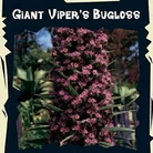 Exotic Seeds - Giant Vipers Bugloss