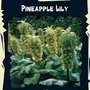 Exotic Seeds - Pineapple Lily