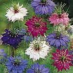 Nigella damascena Persian Jewels Mix Seeds