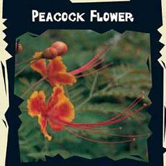 World Garden Seeds - Peacock Flower