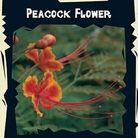 World Garden Seeds - Peacock Flower