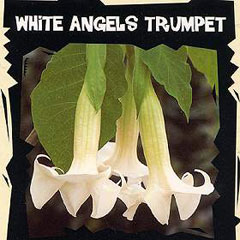 Exotic Seeds - White Angels Trumpet