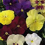 Pansy Clear Crystals Mix Seeds
