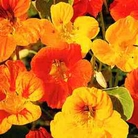Flower Seeds - Nasturtium Dwarf Compact Mixed