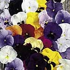 Pansy F1 Super Hybrid Summer Flowering Mix Seeds