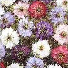 Nigella Persian Jewels Mixed Seeds