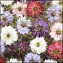 Nigella Persian Jewels Mixed Seeds