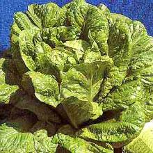 Vegetable Seeds - Lettuce Cos Little Gem