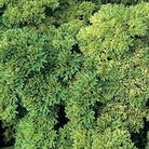 Herb Seeds - Parsley Champion Moss Curled