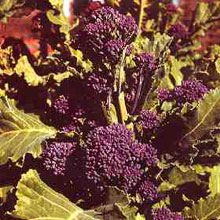 Vegetable Seeds - Early Purple Sprouting Broccoli