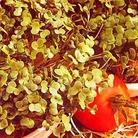 Herb Seeds - Mustard