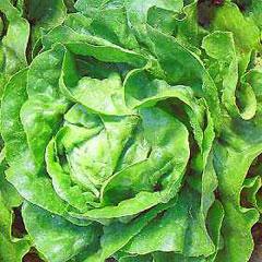 Vegatable Seeds-Lettuce Arctic King