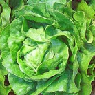 Vegatable Seeds-Lettuce Arctic King