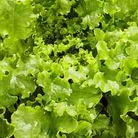 Vegetable Seeds - Lettuce Salad Bowl