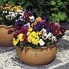 Pansy F1 Super Hybrid Winter Flowering Mix Seeds