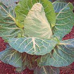 Vegetable Seeds - Spring Cabbage