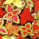 Flower Seeds - Coleus Thompson & Morgan Prize Strain Mixed