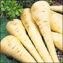 Vegetable Seeds - Parsnip Gladiator