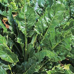 Vegetable Seeds - Spinach Perpetual