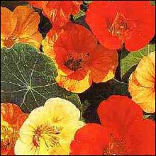 Flower Seeds - Nasturtium Tom Thumb Mixed