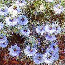 Flower Seeds -Nigella Miss Jekyll