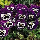 Pansy F1 Mr Cool Seeds