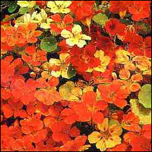 Flower Seeds - Nasturtium Climbing Mixed