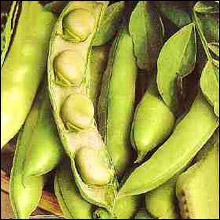 Vegetable Seeds - Broad Bean Aquadulce Claudia