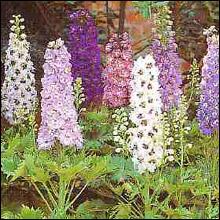 Flower Seeds - Delphinium Magic Fountains Mixed