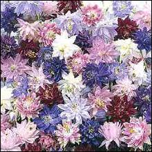 Flower Seeds - Aquilegia Nora Barlow Mixed