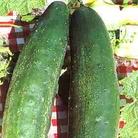 Cucumber Burpless Tasty Green Seeds