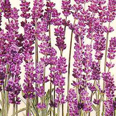 Flower Seeds - Lavender Munstead Dwarf