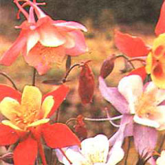 Flower Seeds - Aquilegia McKana Giants Mixed