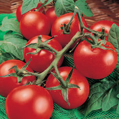 Fruit Seeds -Tomato Moneymaker
