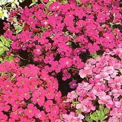 Flower Seeds - Aubrieta Thompson & Morgan Mixed Hybrid