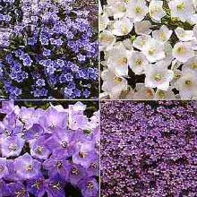 Flower Seeds - Campanula Rockery Mixed