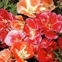 Flower Seeds - Godetia Azalea Flowered Mixed
