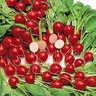 Vegetable Seeds - Radish Cherry Belle