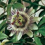 Passion Flower Caerulea Seeds