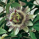 Passion Flower Caerulea Seeds
